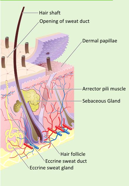 Eyelash follicle